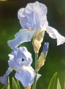 Alexander-Linda-Purple Iris